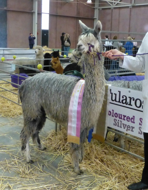 Tularosa Rhapsody- Res. Champion Female Grey Suri