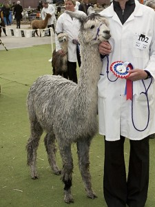 Best Grey female Colourbration 2010 Tularosa Lambada